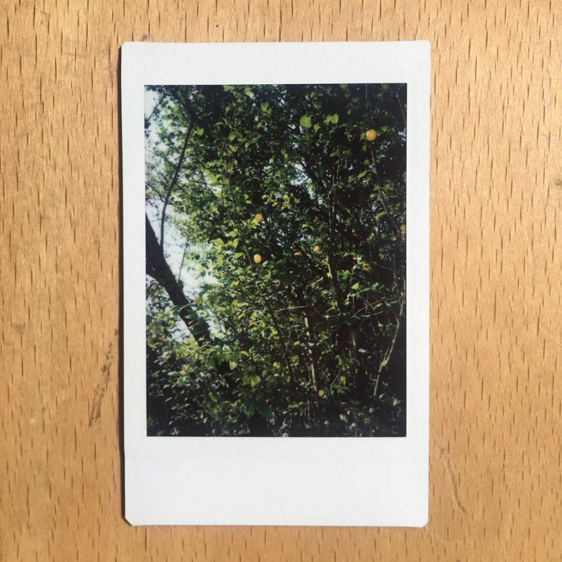 <p>AJ's yellow plum tree</p>
